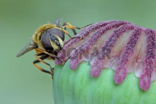 Gemeine Dolden-Schwebfliege (Myathropa florea)