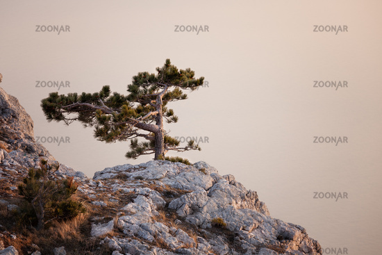 Pine-tree on rocky hills of Crimea mountain