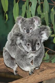 Koala, Mutter und Junges, Australien