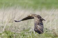 Female Lesser Spotted Eagle, Aquila pomarina