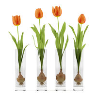 four tulips in glass vases isolated on white background