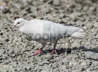 White Release Dove