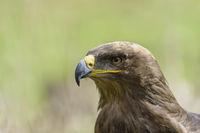 Steppe Eagle, Aquila nipalensis