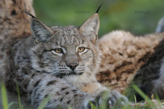 stretching... Eurasian Lynx *Lynx lynx*