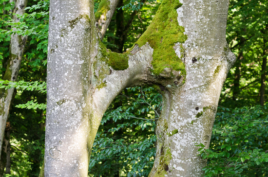 Beech Tree Trunks Conjoined, Inosculation