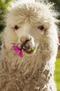 Lama chewing flower, Arequipa, Peru