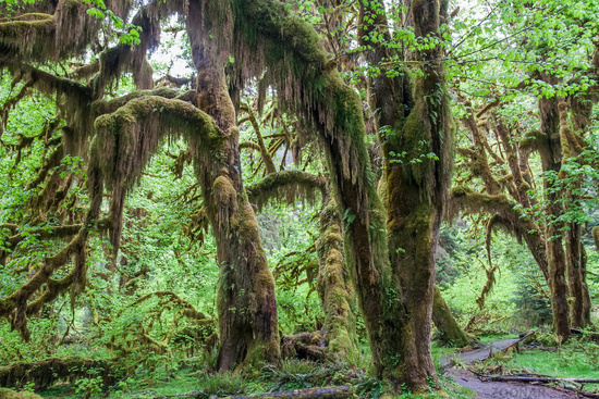 Green lush plants of temperate rainforest at Olympic National Park Washington USA