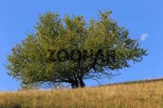 Einsamer Baum mit Mond