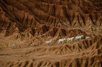 Sheep lamb in the middle of dry sand stone rock desert Tatacoa, Huila