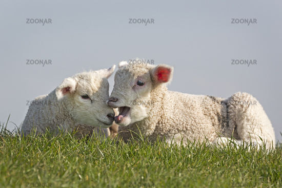 Young animals sheep, North Frisia, Schleswig-Holst