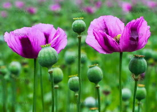 Poppy Poppy in purple field