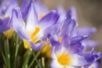 Deutschland, violetter Krokus (Crocus)