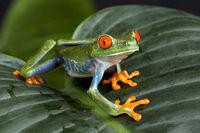 Red Eyed Tree Frog on Foliage