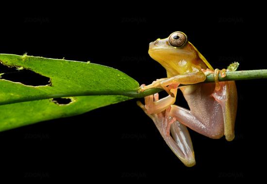 Surinam Clown treefrog