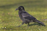 Carrion Crow (Corvus corone), Hamburg, Germany, Europe