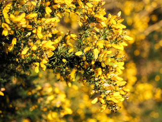 Yellow Gorse in flower