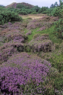 Dunescape with Common Heather at the North Sea coast / Syddanmark