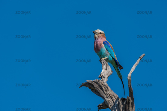 Lilac-breasted roller looking up from dead branch