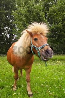 Willy das Shetlandpony