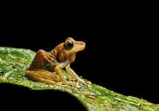 Frosch Pristimantis nyctophylax, Anden Nebelregenwald, Mindo, Ecuador
