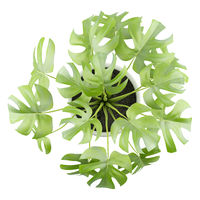 top view of monsteria plant in pot isolated on white background
