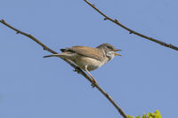 Whitethroat bird chirping away whilst perched on a branch