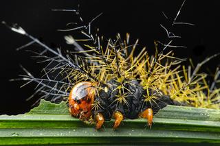 Schmetterlingsraupe mit Brennstacheln einer Pfauenspinner Motte