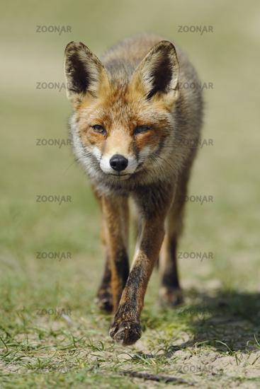 tipped ears... Red fox *Vulpes vulpes*
