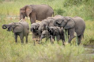 Drinking Elephant herd in the Kruger National Park.