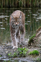 Felis Lynx, European Lynx, Bavarian National Park, Germany