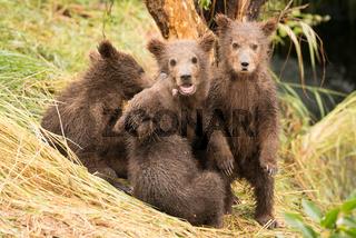 Brown bear cub standing beside three siblings