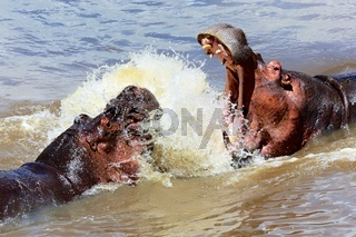 two hippos fighting in masai mara kenya
