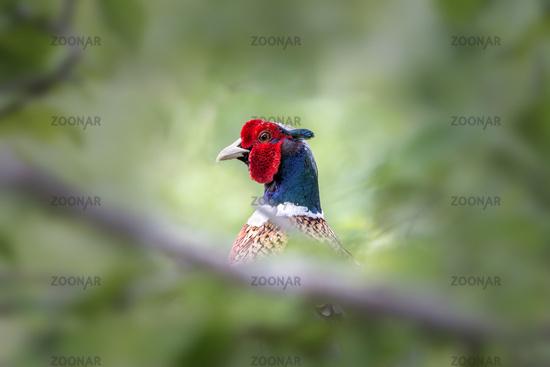 Male pheasant bird hiding in the undergrowth
