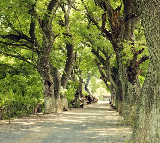 Wonderful landscape, Mekong Delta, row of tree