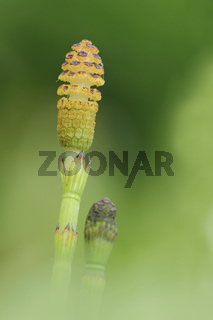 Teich- Schachtelhalm (Equisetum fluviatile)