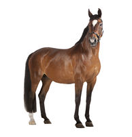 Horse white background