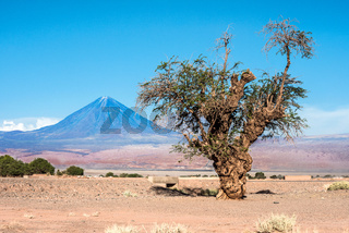 Old tree front of Volcano Licancabur, Atacama desert of Chile