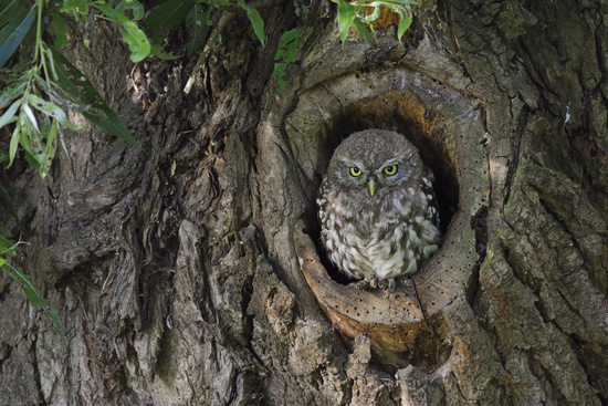 in natural tree hollow... Minervas Owl *Athene noctua*