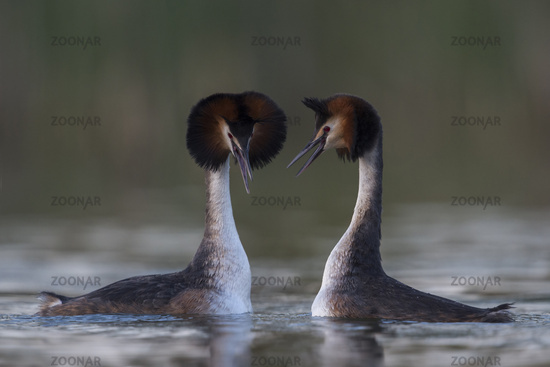 together... Great Crested Grebes *Podiceps cristatus*