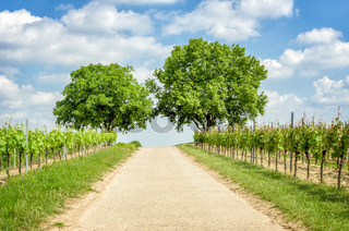 Country lane in the vineyards