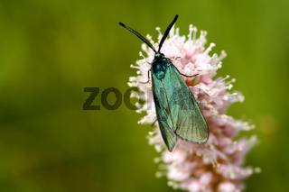 Grünwidderchen (Procridinae)