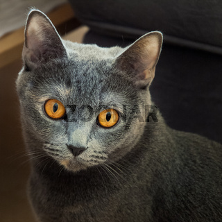Katze mit gelben Augen Portrait