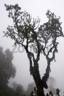 erica in ruwenzori mountains, uganda