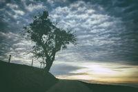 Mit Misteln (Viscum album) bewachsener Baum an einem Feldweg