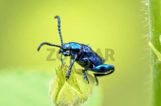 Chrysolina coerulans beetle