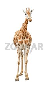 Giraffe front view cutout