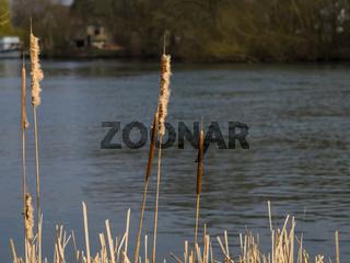 Bullrushes at rivers edge