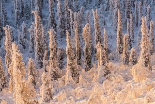 verschneite Baume in der Morgensonne, Lappland