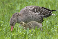 Gray goose with young animal, (Anser anser), Hamburg, Germany, Europe