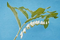 white flowers of wild plant angular solomon's - seal on a blue background.
